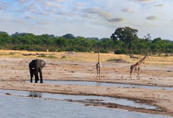 Elephants and giraffes drinking at waterhole