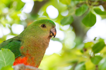 Close Up of Female King Parrot, Anglesea, Australia