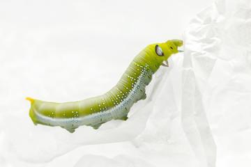 green worm white background