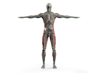 Human anatomy showing back full body, head, shoulders and torso, bone structure, muscular system and vascular system on a plain white background.