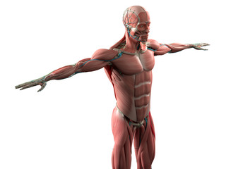 Human anatomy showing face, head, shoulders and torso muscular system, bone structure and vascular system. On white background.