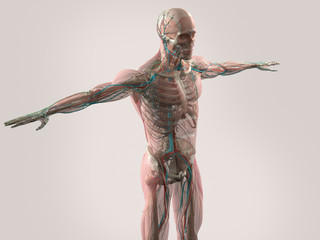 Human anatomy showing x-ray view of face, head, shoulders and torso muscular system, bone structure and vascular system.