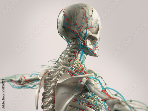 Human anatomy side view of torso. Vascular system and organs. On ...