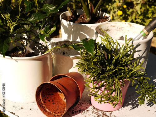 zimmerpflanzen umtopfen imagens e fotos de stock. Black Bedroom Furniture Sets. Home Design Ideas