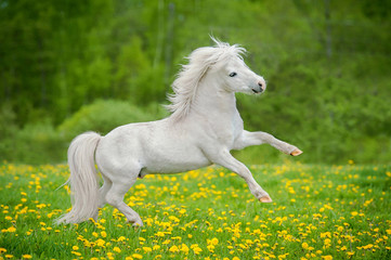 Happy white shetland pony playing on the field with flowers