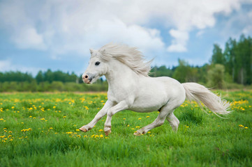 White shetland pony with beautiful long mane running on the field with yellow flowers