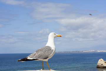 Seagull with Atlantic ocean in background.