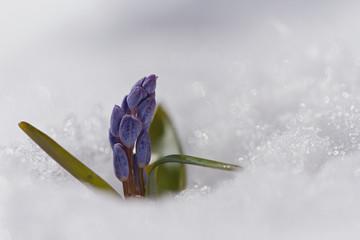 Beautiful macro photo of wildgrowing scilla on snow