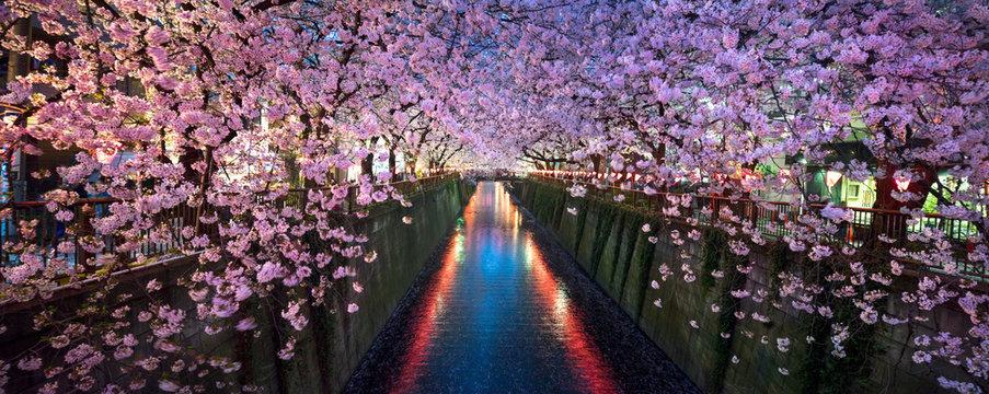 Kirschblüte bei Nacht in Nakameguro Tokio im Frühling
