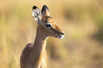 Baby impala looking alert to avoid predators