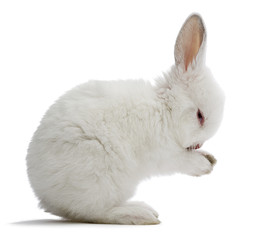 Studio shot of a white baby rabbit isolated on white background.