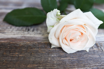 white rose on a wooden background