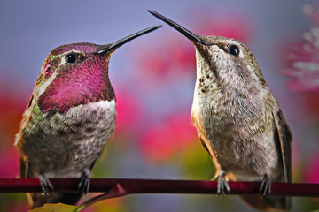 Two hummingbirds stand next to each other on a twig with flowers in background.