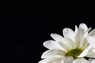 Valentine white chrysanthemums on the black background