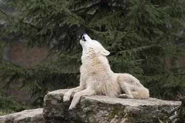 hurlement du loup blanc