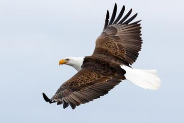 Poster Eagle Bald Eagle in Flight