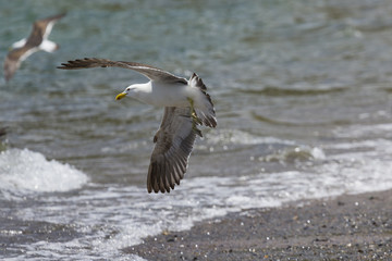 Sea Gull in New Zealand coast.
