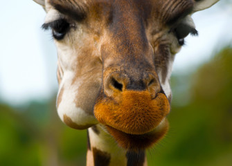 Close-up photo of a cute giraffe's muzzle in a shallow focus with a focus on its fluffy nose.