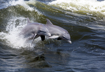 Two Bottlenose Dolphin (Tursiops truncates)
