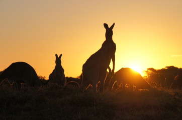 Kangaroo silhouettes at sunset