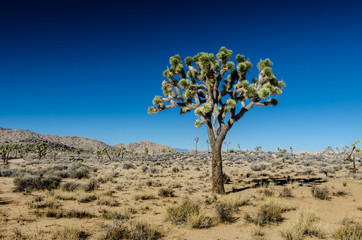 Wall Mural - Single Joshua Tree on Clear Day