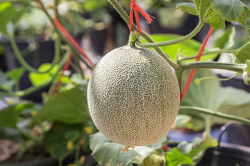 Cantaloupe fruit hanging on tree in farm.