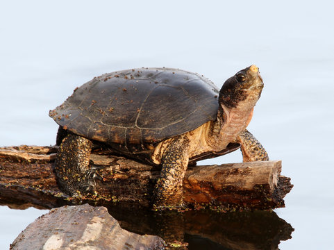 Turtle on a log in a Pond