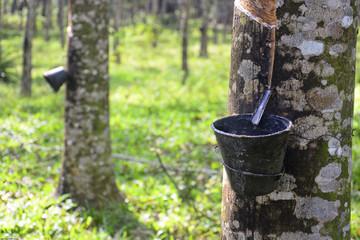 Rubber tree in Malaysia
