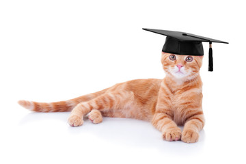 Smart graduate graduation pet kitten cat training