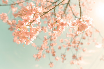 Wall Mural - Nature background of beautiful cherry pink flower in spring - vintage pastel color filter