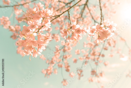Wall mural Nature background of beautiful cherry pink flower in spring - vintage pastel color filter
