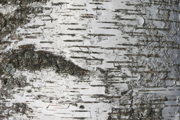 birch bark texture background paper close up