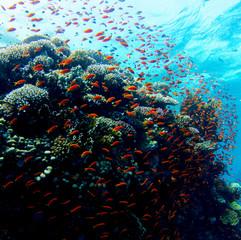 Tauchen in Soma Bay im Roten Meer in Ägypten mit tollem Anblick auf einen Schwarm roter Fische um ein Korallenriff