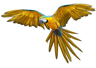 Yellow parrot flying hand draw and paint on white background vector illustration.
