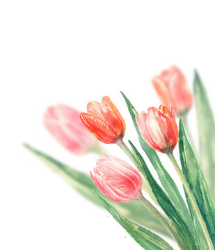Spring background  with  watercolor tulip flower.