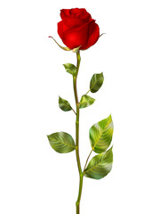 Beautiful colorful red Rose. EPS 10