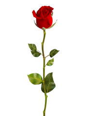Valentines Day Sweet Red Roses. EPS 10
