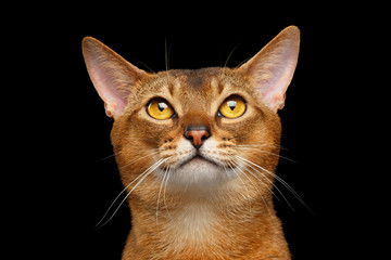 Closeup Portrait of Funny Abyssinian cat Looking Up Isolated