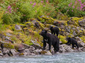 Black bear with her cubs across the street from Solomon Gulch Fi