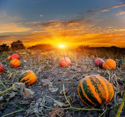 pumpkins field on sunset background