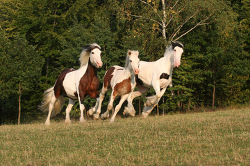 Three running horses in a pasture - Irish cob