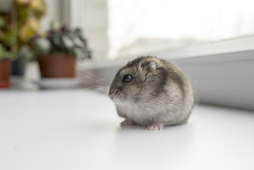 Little dwarf hamster near the window