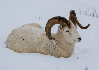 Big Dall ram in the snow