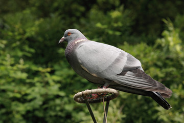 colombo piccione