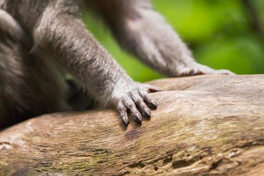 Monkey. Close up photo of monkey's hands. Monkey forest in Ubud, Bali, Indonesia.