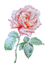 Illustration with rose.