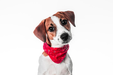 Puppy Jack Russell terrier in a red bandana