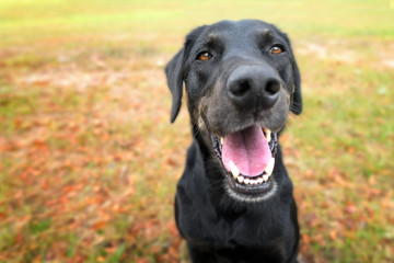Black labrador retriever greyhound mix dog sitting outside watching waiting alert looking happy excited while panting smiling and staring at camera