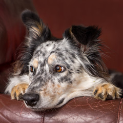 Border collie Australian shepherd dog on brown leather couch armchair looking happy comfortable lounging on furniture waiting watching curious cute uncertain with paws next to face
