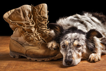 Border collie Australian shepherd dog canine pet lying on tan veteran military combat work construction boots looking sad in mourning depressed abandoned alone bereaved worried heartbroken